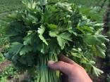 Jag kommer att sälja dill / persilja (från Ukraina) - фото 2