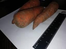 Jag kommer att sälja morötter grossist Kazakstan
