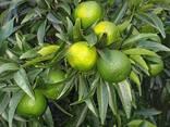 Продам мандарины и лимоны с Италии !Ищу оптового покупателя - photo 1