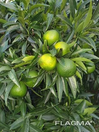 Продам мандарины и лимоны с Италии !Ищу оптового покупателя
